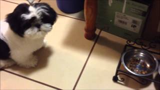 Download Po The Shih Tzu Ep.9 - What I Feed My Puppy Video