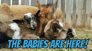 Download Two Goat Births At Once! WARNING GRAPHIC! Video