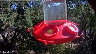 Download Acorn Woodpecker Close Up in West Texas – Apr. 21, 2017 Video