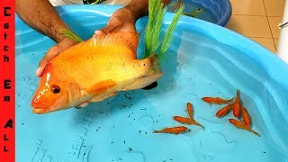 Download FISH BATTLE ROYALE Indoor Mini POOL POND BUILD! Video