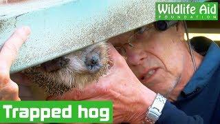 Download How did this HEDGEHOG get stuck in a garage door?! Video
