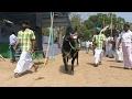 Download Kangeyam bull / Kangayam bull samathur show Kongu Naatu Kaalnadai Thiruvizha 5/2/2017 Video