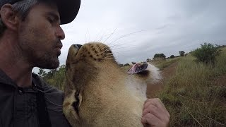 Download Why The Lions DON'T Run Away! #AskMeg | The Lion Whisperer Video