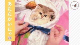 Download タオルに包まれた子猫ちゃん…❤️ ふわふわ暖かくて、安心するニャ😻✨【PECO TV】 Video
