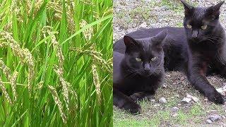 Download 猫達の日常を撮影。稲も実ってきました Video