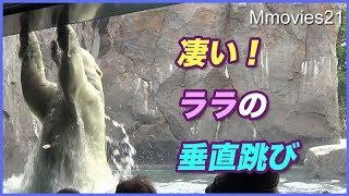 Download まさかのプールですれ違い!?ララの垂直跳びがダイナミック Polar Bears Video