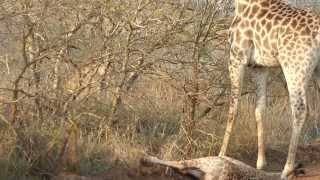 Download giraffe mum screaming for defending her baby from a lioness Video