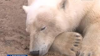 Download На ямальских островах удалось найти и пометить сразу двух белых медведиц Video