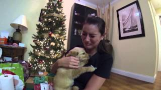 Download Surprised my wife with a golden retriever puppy for Christmas Video