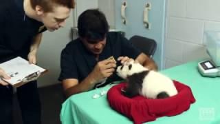 Download Panda Cubs 2016: Day 52 - Exam Video