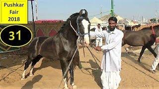 Download पुष्कर मेला 2018 : Stallion : Indian Marwari Horse In Pushkar Fair Mela Ghoda Bazar Video