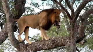 Download SafariLive Jan 26/27 - A tree-climbing male lion! And a smart Leopard mom! Video