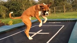 Download Dogs Love Trampolines Compilation Video