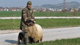 Download Moja ovca vrijedi više od 1000 maraka Video
