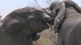 Download Elephants Fight Over Water | Nature's Great Events | BBC Video