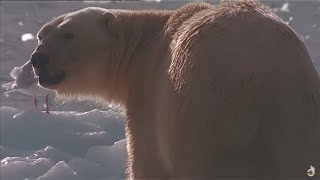 Download Be A Predator : Poles - Animals Documentary Video