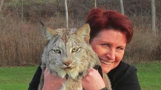 Download This Canadian Lynx Is Twice The Size Of A Cat Now Watch His Reaction When A Trainer Goes To Pet Him Video