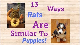 Download 13 Ways Rats Behave Like Tiny Dogs! Video