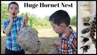 Download Inside A Huge Bald Faced Hornet & Yellowjacket Nest. Mousetrap Monday Video