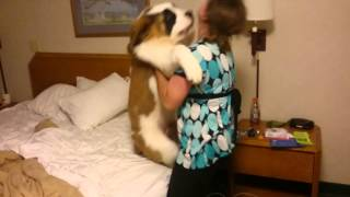 Download St Bernard Puppy - Doesn't Want to go to Bed Video