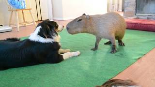 Download Dog and Capybara Video