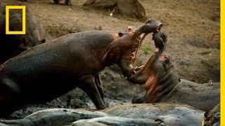 Download A Hippo Battle | Hostile Planet Video