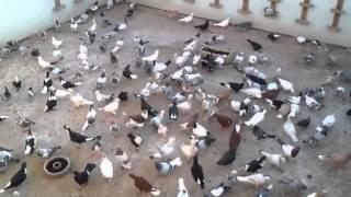 Download Filo Güvercinleri G.Antep Video