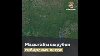 Download Вырубка сибирского леса. Вид сверху Video