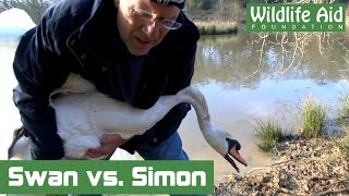 Download Angry Swan challenges Simon Cowell to 'Round Two'! Video