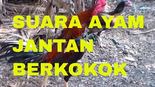Download Suara Ayam Jantan Berkokok | The Sound of Roosters Crowing Video