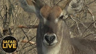 Download safariLIVE - Sunrise Safari - October 12, 2018 Video