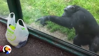 Download SMART Chimp Asks Zoo Visitors For Drink | The Dodo Video