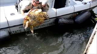 Download Loggerhead Sea Turtle Rescue 11-2013 Video
