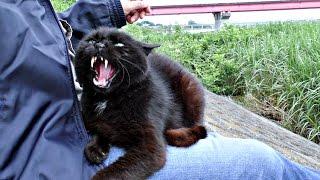 Download 【地域猫】暴君の流儀に抗うすべなし!【魚くれくれ野良猫】 Video