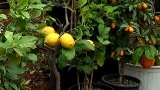 Download Hobi Bahçecilik: Saksıda Limon, Portakal, Mandalin Yetiştiriciliği Video