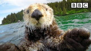 Download Cute otters intimately filmed by spy camera - Spy in the Wild: Episode 2 Preview - BBC One Video