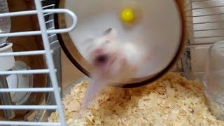 Download 回し車から吹っ飛ぶハムスターの顔が…!おもしろ可愛いハムスターThe face of a funny hamster blowing away from a turning car Video