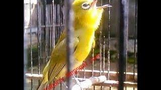 Download Pleci Dakun Merapi Gacor Ngerol | Pleci Juara nasional Video
