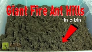 Download WOW! FIRE ANTS BUILD GIANT ANT HILLS in a BIN! Video