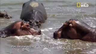 Download Un touriste attaqué par un hippopotame Video