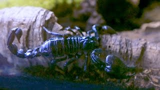 Download Scorpion Shots for a Bad*** Scorpion Tank Video