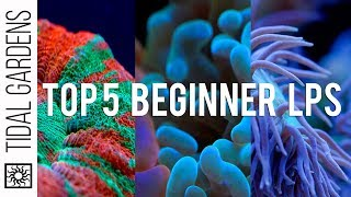 Download Top 5 LPS Corals for Beginners Video
