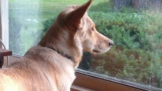 Download This Dog Stares Out Window Every Day - When Owner Finally Realizes Why Dog's Heartbroken They Put Up Video