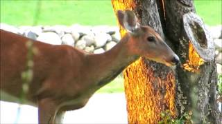 Download How many apples can a deer eat???? Video