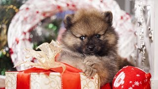 Download Getting a Puppy for Christmas Compilation Video