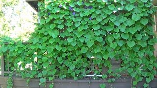 Download Tour of Morning Glory Vines Growing All Over My House Video