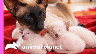 Download Protective First-Time Mom Looks After Her Curious Siamese Kittens | Too Cute! Video