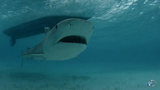 Download Tagging a Baby Tiger Shark Video