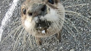 Download The otter swimming freely in the autumn river PartⅡ [Otter life Day 148] 秋の川を自由に泳ぐカワウソ Video