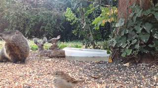 Download Backyard Wildlife: Groundhog Visits the Feeder - Friday 09-29-2017 Video